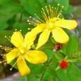 シナノオトギリ (花)