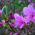トウゴクツバツツジ(花)