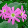 ハクサンコザクラ (花)