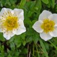 チングルマ (花)