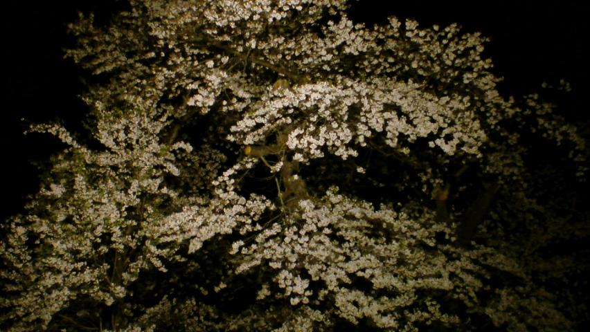 長野牧場夜桜