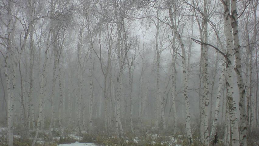 白樺群生地